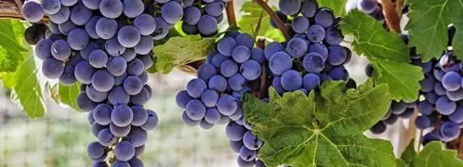 wine-garden